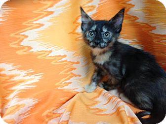 Calico Kitten for adoption in Dallas, Texas - Dove
