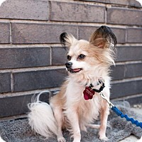 Chihuahua/Papillon Mix Dog for adoption in Brooklyn, New York - BOBBY MOYNIHAN