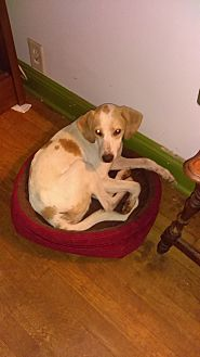 Hound (Unknown Type) Mix Dog for adoption in south plainfield, New Jersey - Gretel