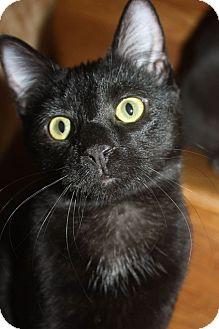 Domestic Shorthair Kitten for adoption in Millersville, Maryland - Mya