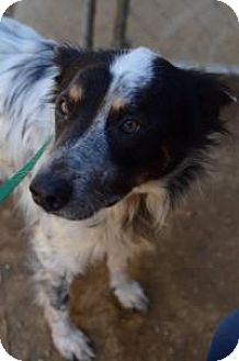Australian Shepherd Mix Dog for adoption in Chattanooga, Tennessee - Sinjin