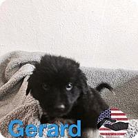 Adopt A Pet :: Gerard - Westminster, CO