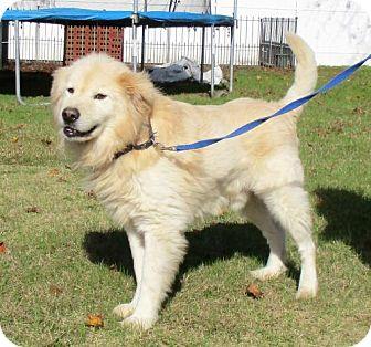 Golden Retriever Mix Dog for adoption in Murrells Inlet, South Carolina - Zeus
