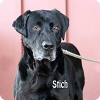 Adopt A Pet :: Stitch - Idaho Falls, ID