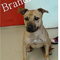 Bulldog/Terrier (Unknown Type, Medium) Mix Dog for adoption in Ozark, Alabama - Brandi