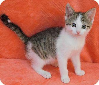 Domestic Shorthair Kitten for adoption in Elkhorn, Wisconsin - Taz