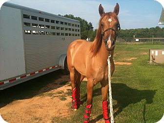 Quarterhorse Mix for adoption in York, South Carolina - Mindy