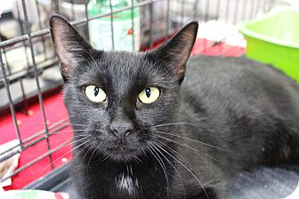 Domestic Shorthair Cat for adoption in Santa Monica, California - Tammy