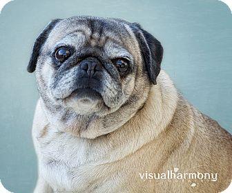 Pug Dog for adoption in Phoenix, Arizona - Mala