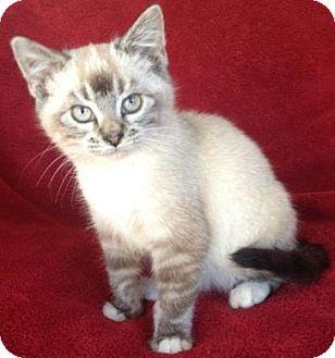main coon kittens adoption