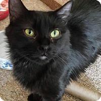 Adopt A Pet :: Amelia - brewerton, NY