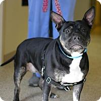 Adopt A Pet :: Juliet - Scituate, MA