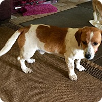 Beagle Mix Dog for adoption in Norman, Oklahoma - Sonny