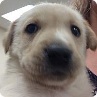 Adopt A Pet :: Pepsi - Fort Collins, CO