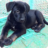 Adopt A Pet :: Dark Star - Little Rock, AR