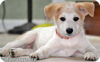 Great Pyrenees Mix Puppy for adoption in Beacon, New York - Cocoa in VA / pup - pending
