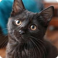 Adopt A Pet :: Caprice $85 Female Kitten - knoxville, TN