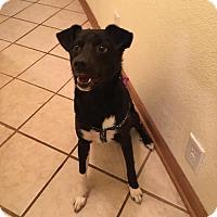 Adopt A Pet :: Jack - Springfield, MO