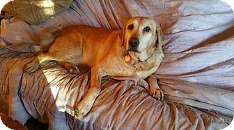 Labrador Retriever Dog for adoption in Woodland Hills, California - Yelloq