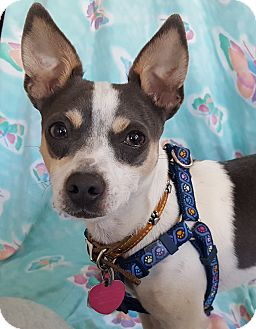 Rat Terrier/Toy Fox Terrier Mix Dog for adoption in San Francisco, California - Remmy