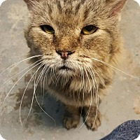Maine Coon Cat for adoption in Phoenix, Arizona - Scruffy