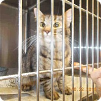Domestic Mediumhair Cat for adoption in Temple, Texas - LAUNCHER