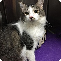 Domestic Shorthair Cat for adoption in Chico, California - Binkie