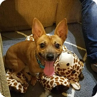 Chihuahua/Rat Terrier Mix Dog for adoption in Hawthorne, California - Buddy