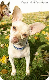 Chihuahua Mix Dog for adoption in Worcester, Massachusetts - Sabrina