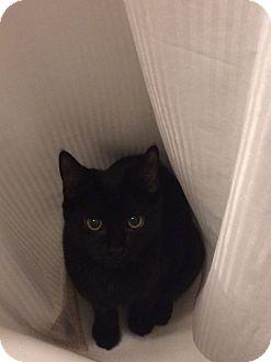 Domestic Mediumhair Kitten for adoption in Livonia, Michigan - Hb Litter - Miss Patty