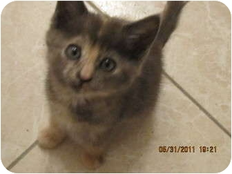 Calico Kitten for adoption in Los Angeles, California - Tilly