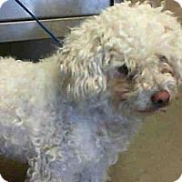 Adopt A Pet :: McDoodle - Anaheim, CA
