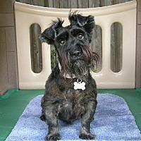 Adopt A Pet :: Muffie Vanderdaug - Dallas, TX
