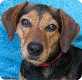 Beagle/Foxhound Mix Dog for adoption in Cuba, New York - Jenny