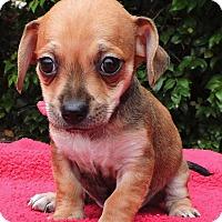 Adopt A Pet :: Arlo - La Habra Heights, CA