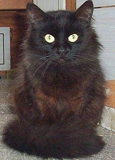Domestic Longhair Cat for adoption in Chapman Mills, Ottawa, Ontario - MELLOW-D