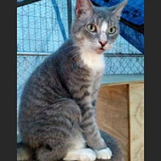 Domestic Mediumhair Cat for adoption in Garner, North Carolina - Simba
