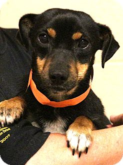 Dachshund/Terrier (Unknown Type, Small) Mix Dog for adoption in Glastonbury, Connecticut - Kewbie~meet me~special needs!