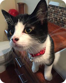 Domestic Shorthair Kitten for adoption in Burbank, California - DJ