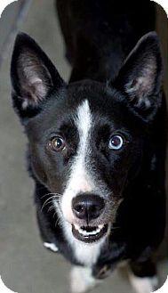 Corgi/Basenji Mix Dog for adoption in Bradenton, Florida - Lady Love
