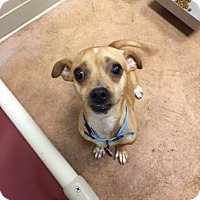 Chihuahua Mix Dog for adoption in Plymouth Meeting, Pennsylvania - Max
