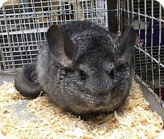 Chinchilla for adoption in Hammond, Indiana - Lumpy