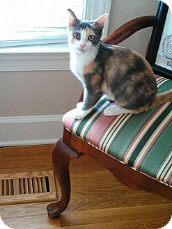 Calico Kitten for adoption in Golsboro, North Carolina - ESTEE LAUDER
