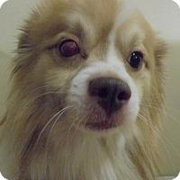 Sheltie, Shetland Sheepdog Mix Dog for adoption in Zanesville, Ohio - 48103 Bumper (one eye) sponsored $75 plus tags