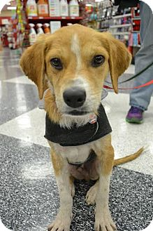 Cocker Spaniel/Beagle Mix Puppy for adoption in Austin, Texas - Hachi
