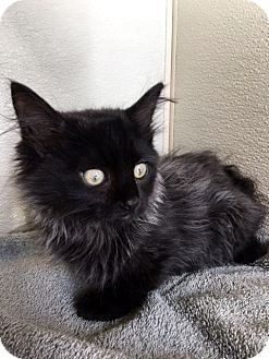 Domestic Longhair Kitten for adoption in North Las Vegas, Nevada - Kason