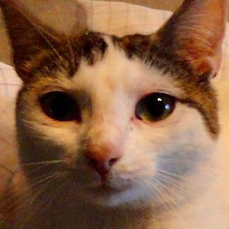 Domestic Shorthair Cat for adoption in St. Johnsville, New York - Sweet Pea