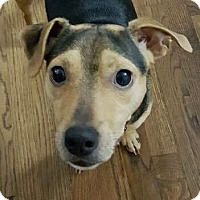 Adopt A Pet :: Boomer - Chicago, IL