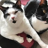 Adopt A Pet :: Mickey and Montana - Novato, CA