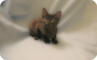 Domestic Shorthair Kitten for adoption in Richmond, Virginia - Miyo